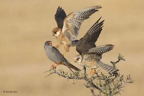 """O tcheco Ondrej Pelánek, de 12 anos, foi o """"Jovem Fotógrafo de Vida Selvagem do Ano"""" com esta imagem de uma briga entre pássaros."""