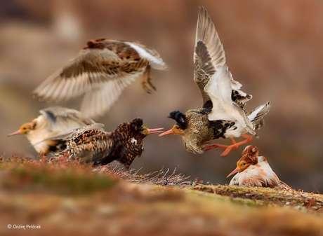 """Falcões em uma área agrícola de Israel foram retratados nesta foto de Ben-Dov. """"O sol saiu, e estes três pássaros se reuniram, e uma interação curiosa aconteceu: uma fêmea cutucou o macho com sua garra e voou para abrir espaço no galho para outra fêmea"""", diz o fotógrafo."""
