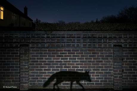 Richard Peters passou diversas noites, ao longo de vários meses, com suas lentes a postos em seu jardim na Inglaterra até fotografar a sombra de uma raposa.