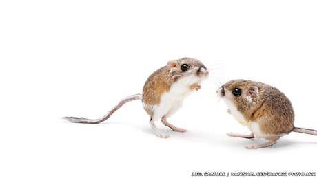 Alguns animais demonstram adaptações de comportamento devido a mudanças no ambiente como aumento de temperatura e diminuição da água. O rato-canguru faz tocas subterrâneas onde é mais fresco durante o dia e sai durante o dia. Acima, a espécie fotografada no zoológico Fort Worth, no Texas.