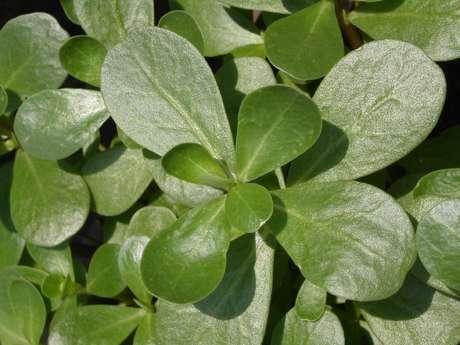 As folhas são ricas em minerais como potássio e ferro.