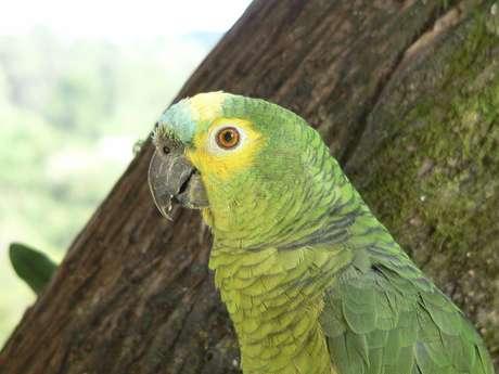 Papagaio salvou moradores de incêndio na Costa Rica