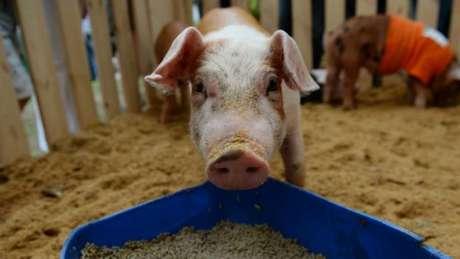 A resistência foi descoberta em porcos, que costumam receber antibióticos com frequência na China