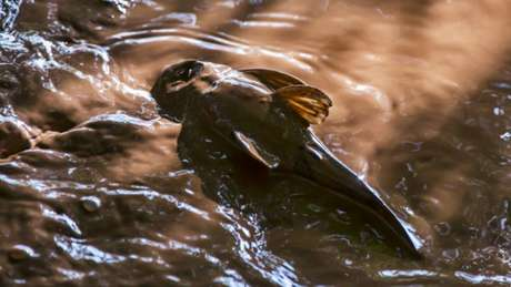 Cascudo do rio Doce morto no Parque Municipal de Governador Valadares, em Minas Gerais
