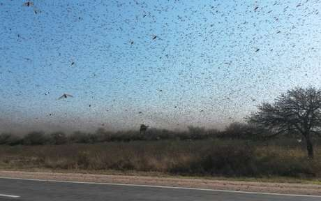 Cerca de 700 mil hectares já foram afetados pelos insetos, a maioria coberto por pasto