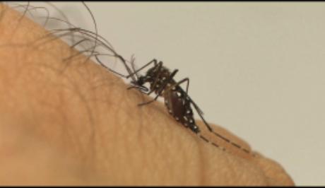 Aedes aegypti, mosquito transmissor do vírus Zika