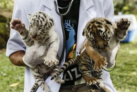 Filhotes de tigre nascidos em 2015 na Indonésia