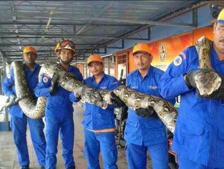 Python encontrada na Malásia deve ser a maior cobra já encontrada no mundo