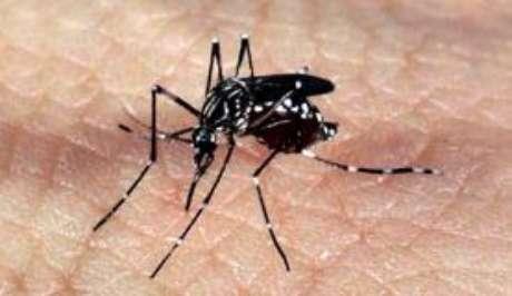 Mosquito Aedes aegypti, transmissor dos vírus da dengue, zika e chikungunya