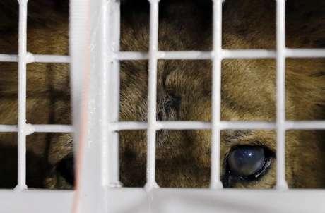 Un león que perteneció a un circo observa desde el interior de una jaula a su llegada al Aeropuerto Internacional OR Tambo en Johannesburgo, Sudáfrica, el sábado 30 de abril de 2016. Treinta y tres leones rescatados de circos en Sudamérica serán liberados en un santuario para grandes felinos.