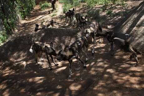 Pelo dos cães selvagens do Zimbábue faz uma camuflagem natural na luz solar.