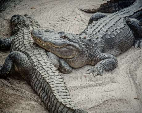 Os cientistas sedaram os animais e colheram o esperma de vários crocodilos de estuário australianos e os incubaram em condições similares aos de um sistema reprodutor feminino