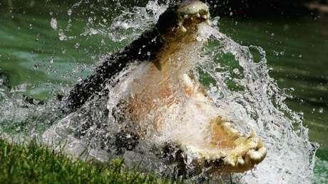 Um dos três crocodilos-do-nilo foram encontrados em um pântano da Flórida