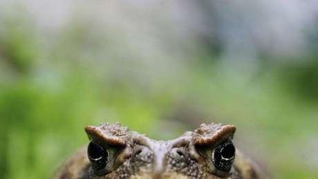O crocodilo-do-nilo chega a ter seis metros de comprimento, maior que o jacaré nativo da Flórida