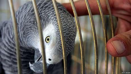 Papagaios cinzas africanos pdoem viver até 60 anos