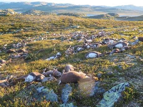 Raio mata mais de 300 renas na Noruega