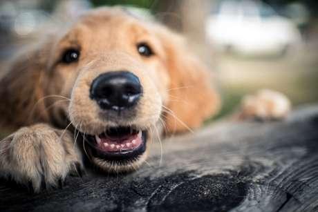 Cachorros diferenciam o que e como dizemos e podem combinar os dois fatores para conseguir uma interpretação correta do que essas palavras realmente significam.