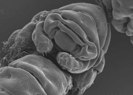 """Cientistas estudaram o genoma da espécie Ramazzottius varieornatus para identificar a """"arma secreta"""" que explica como os tardígrados são capazes de sobreviver a todo tipo de condições extremas"""