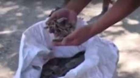 Escamas do animal são usadas por curandeiros na China e no Vietnã