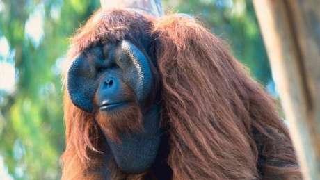 Em Bornéu e Sumatra, a derrubada de florestas aumentou o tráfico de macacos