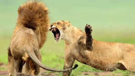 Leões, suricatos e algumas espécies de macacos são letais para os congêneres