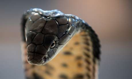 Cobra de monóculo (Naja kaouthia) é uma espécie muito venenosa