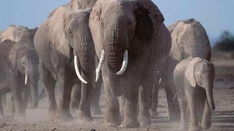 A população de elefantes africanos diminuiu drasticamente com o aumento da caça ilegal, afirma o estudo