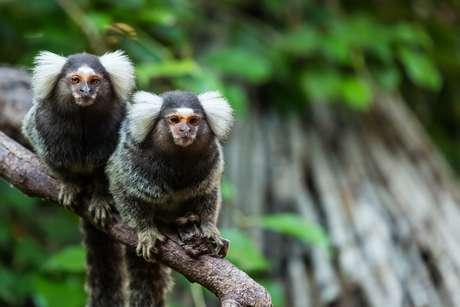 Los monos Tití pueden ser portadores de graves enfermedades