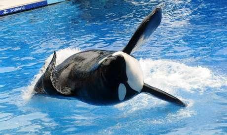 Tilikum foi uma das mais famosas orcas do parque SeaWorld
