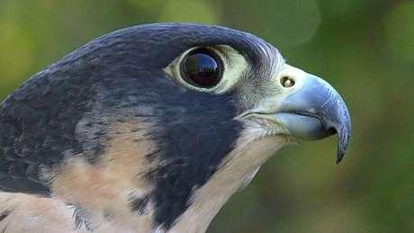 Cada ovo de falcão peregrino seria vendido em Dubai por cerca de R$ 20 mil