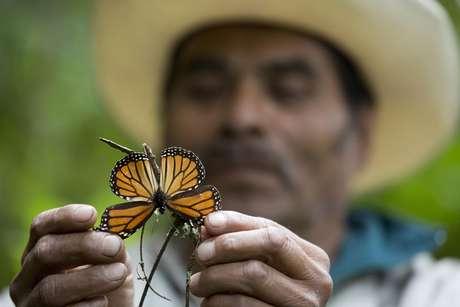 Ven disminución en llegada de mariposas monarcas a México