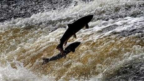 Quando os salmões sobem rios para desovar, os piolhos morrem