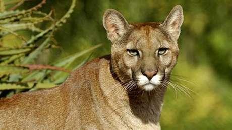 O Puma concolor é o mamífero terrestre com a maior distribuição geográfica no Oriente e habita tanto climas tropicais como subárticos