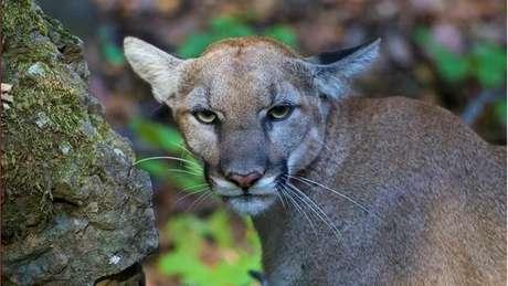 Nos EUA, a onça-parda é conhecida como puma ou leão da montanha, e já foi vista revirando latas de lixo em Los Angeles