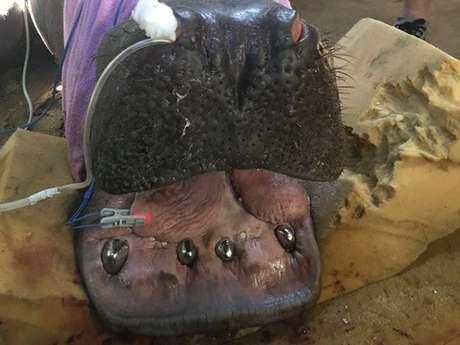 Em seu habitat natural os hipopótamos desgastam os dentes naturalmente durante sua alimentação, por isso seus dentes continuam crescendo ao longo da vida