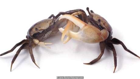 Certas espécies de caranguejo balançam as patas em coreografias conjuntas