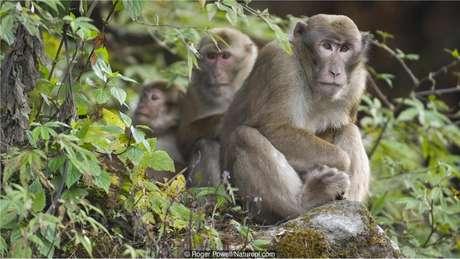 Percepção de ritmo dos macacos não costuma ser boa