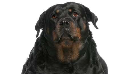 Ganho de peso, preguiça e lentidão são sintomas de hipotireoidismo em cães