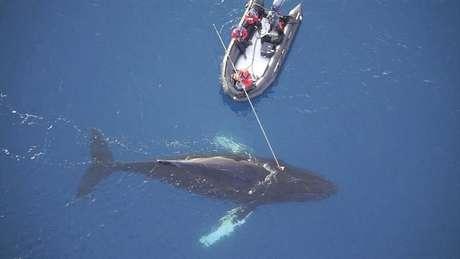 Cientistas acoplam sensores e câmera em baleia