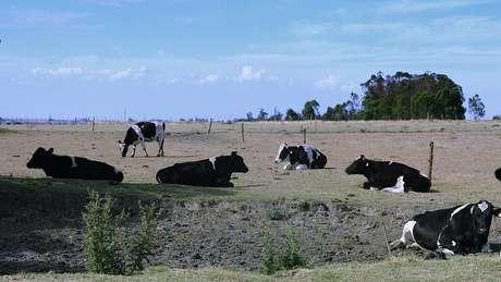 No território uruguaio, vivem 12 milhões de vacas, ou seja, há 3,5 bovinos para cada habitante.