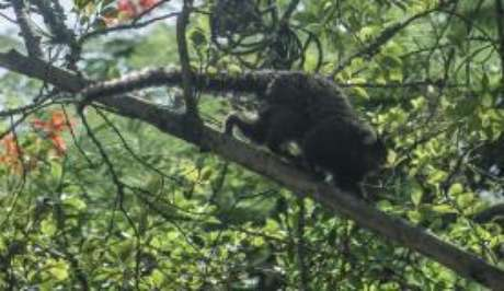 Os macacos são hospedeiros da febre amarela silvestre