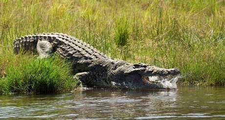 Imagem de um crocodilo