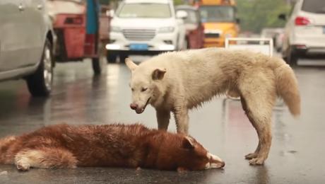 Un perro trata de ayudar a su amigo moribundo tras ser atropellado