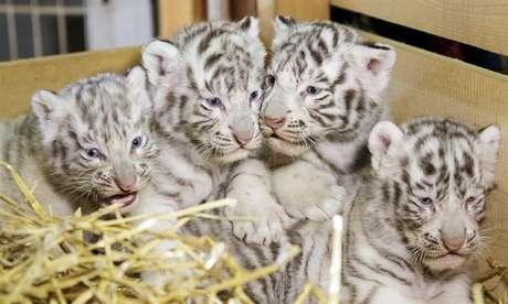 Falco, Toto, Mia e Mautzi nasceram em 22 de março e ficarão cerca de um ano e meio com sua mãe Thalie