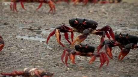 Todos os anos, depois das chuvas de primavera, caranguejos saem debaixo da terra para se reproduzir.