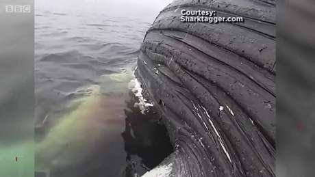 Tubarão come carcaça de baleia-jubarte na Califórnia
