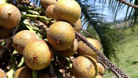 Coco da macaúba é comestível, folhas podem ser usadas como forragem e fibra têxtil e parte dura do fruto serve para carvão ativado de filtros
