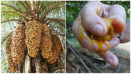 Palmeira produz de três a quatro toneladas de óleo de polpa por hectare, e capacidade pode aumentar com melhoramento genético