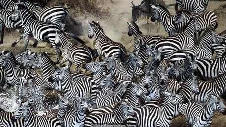Zebras atravessam rio em grupo na África
