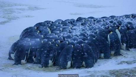 Os pinguins-imperadores (Aptenodytes forsteri) se agrupam para suportar o frio